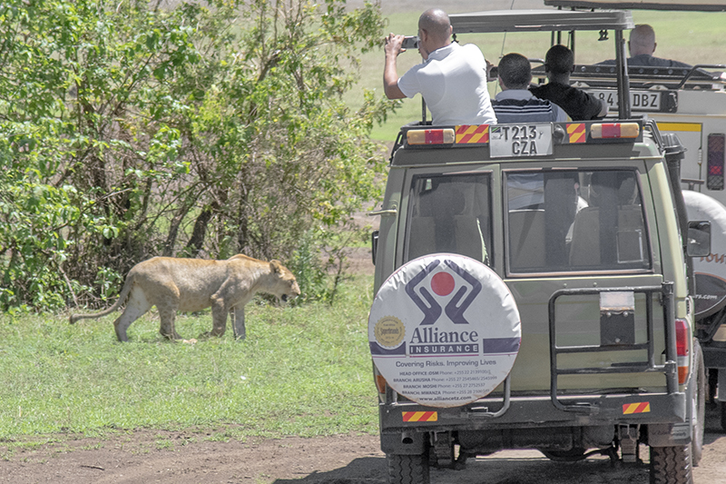 people taking photos of a lion on a safari in Tanzania