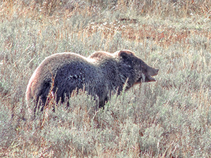 a grizzly bear seen on a Yellowstone family vacation