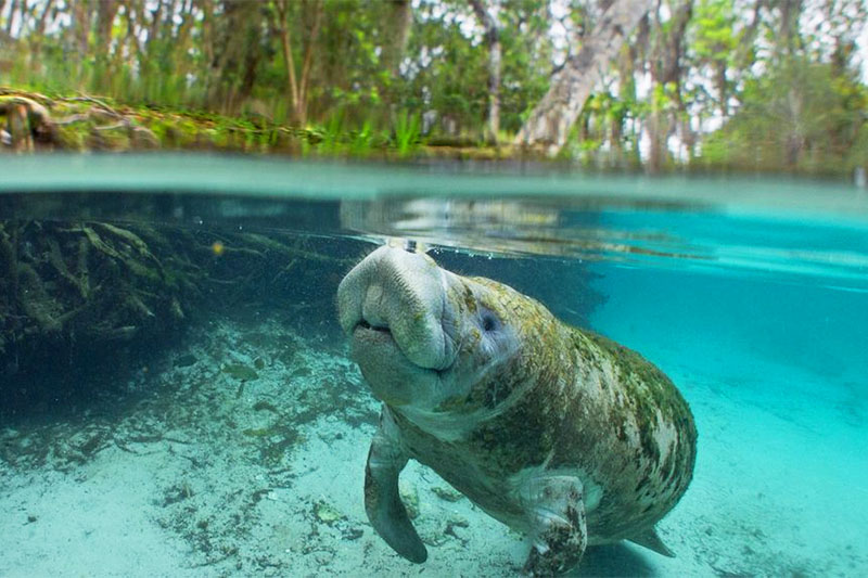 A manatee in the water at Weeki Wachee Springs