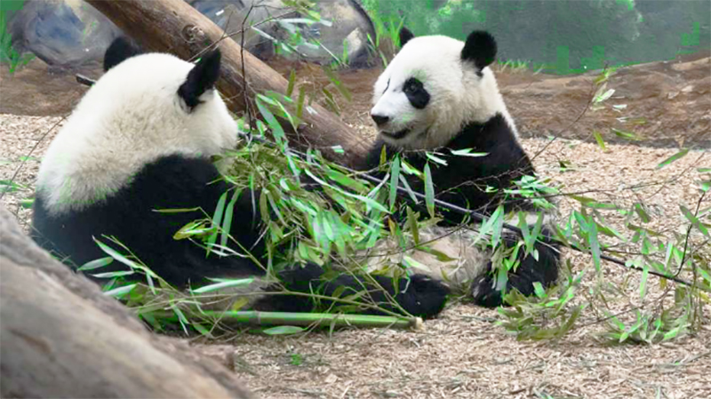 pandas in a zoo, one of the things to do in atlanta with kids