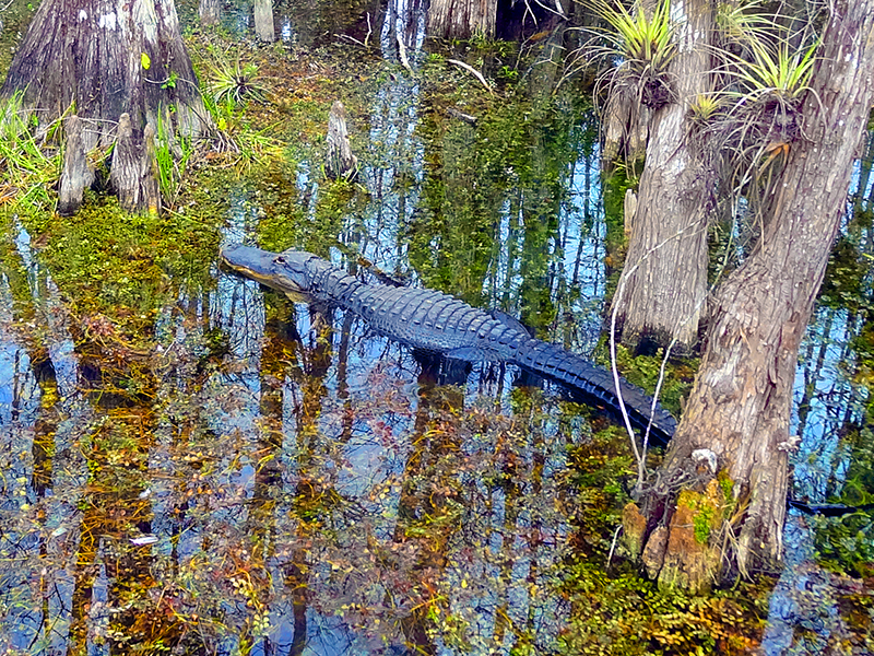 an alligator near Florida's Alligator Alley
