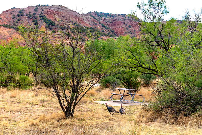 Wild turkeys walking through the brush in a park