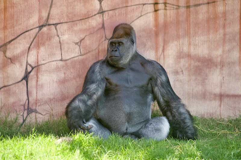 a gorilla in a zoo, one of teh places to visit in Little Rock