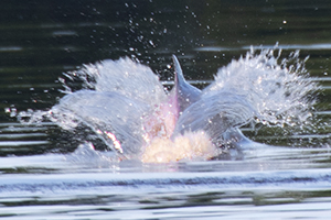 a pink dolphin splashing in the water
