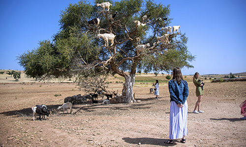 Goats in a tree in Morocco