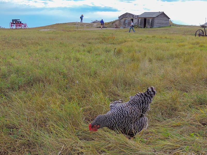 chicken in field seen on a South Dakota Road Trip