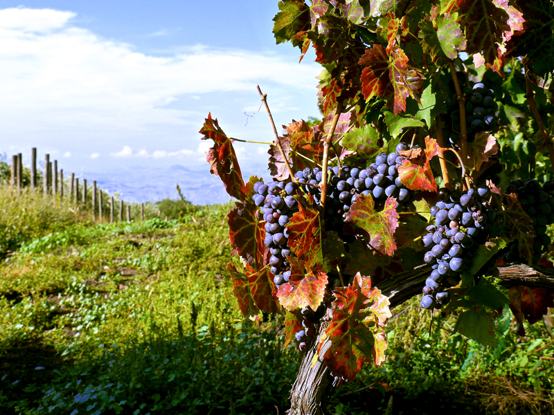 grape vines at wineries in sicily
