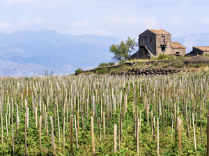 a vineyard in Sicily around an old stone house