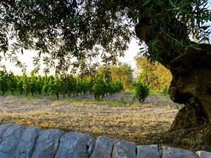 a large tree near a vineyard