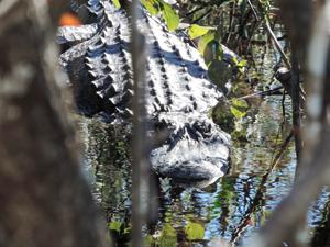 an alligator near Florida's Gulf Coast