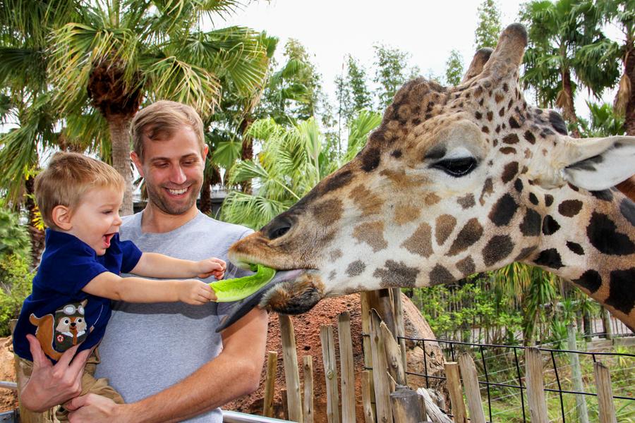 a young boy feeding lettuce to a giraffe in Tampa