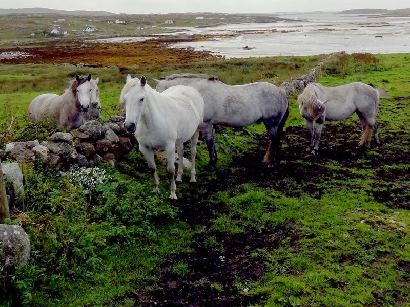 horses grazing on Ireland's west coast