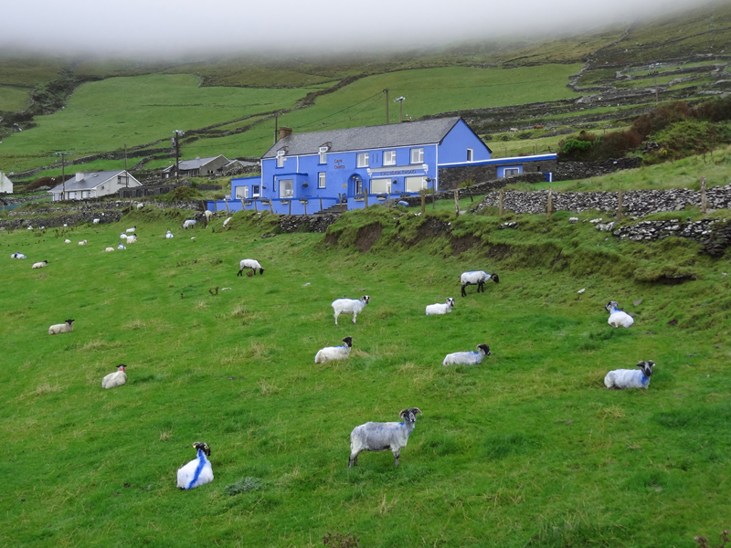 sheep grazing in front of a blue house on Ireland's west coast