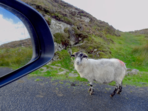 sheep on a road on Ireland's west coast