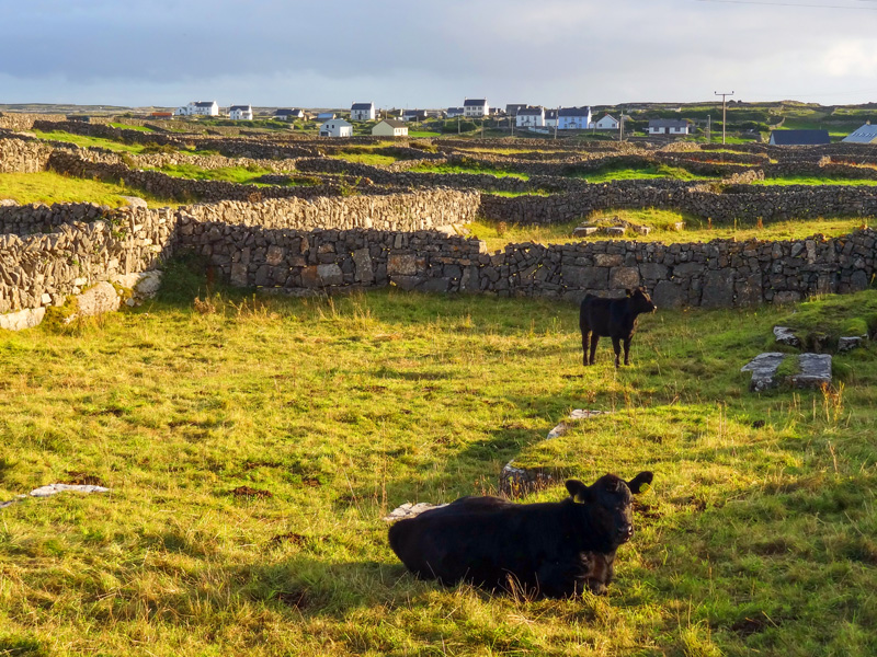 cows in a pasture with stone walls