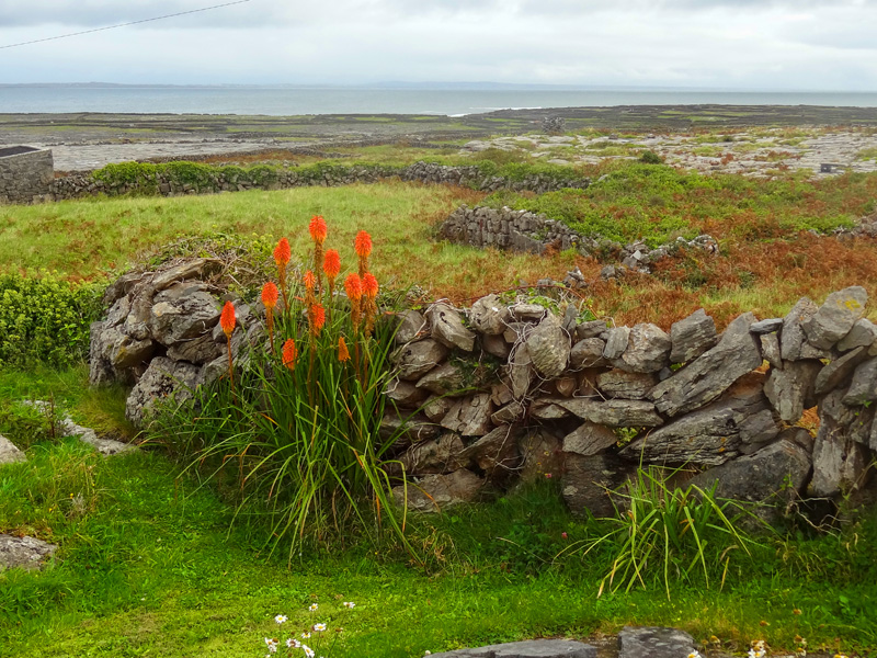red flowers along a stone wall on the Aran Islands, Ireland