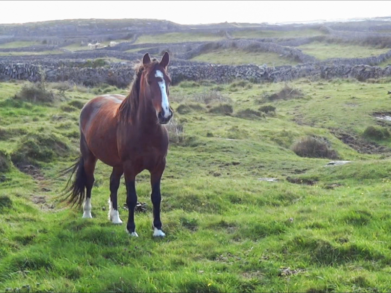 a horse in a hilly pasture with stone walls