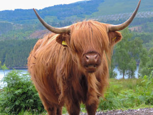 Cattle with shaggy hair and long horns