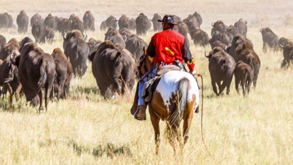 a cowboy on a buffalo roundup