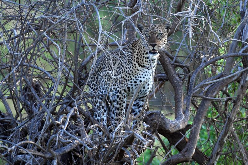 leopard in tree seen on safari in Kenya