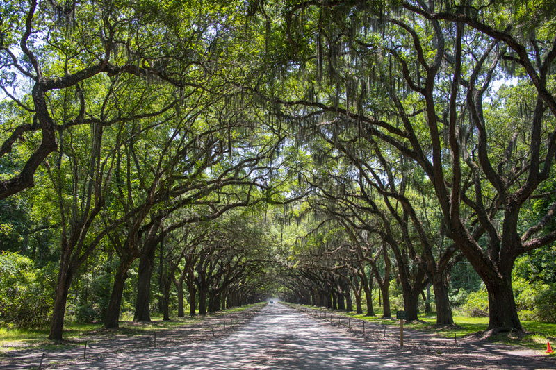 driving beneath large oak trees with Spanish moss over a long road, one of the things to do in Savannah