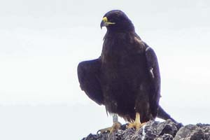 a hawk on a rock seen on a Galapagos cruise vacation