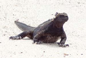 a large black lizard