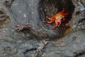 bright red crabs on a rock