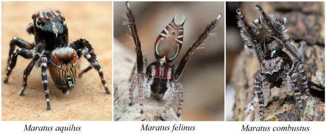 Photos of three newly described peacock jumping spiders.