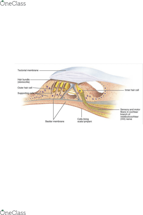 small resolution of the vestibular membrane separates the cochlear duct from the scala vestibuli and