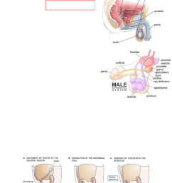 lecture 15 male reproductive system part i testes accessory organs [ 784 x 1074 Pixel ]