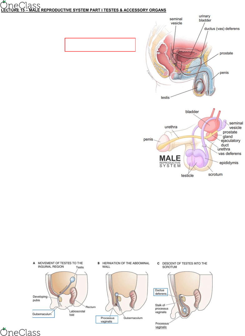 medium resolution of lecture 15 male reproductive system part i testes accessory organs