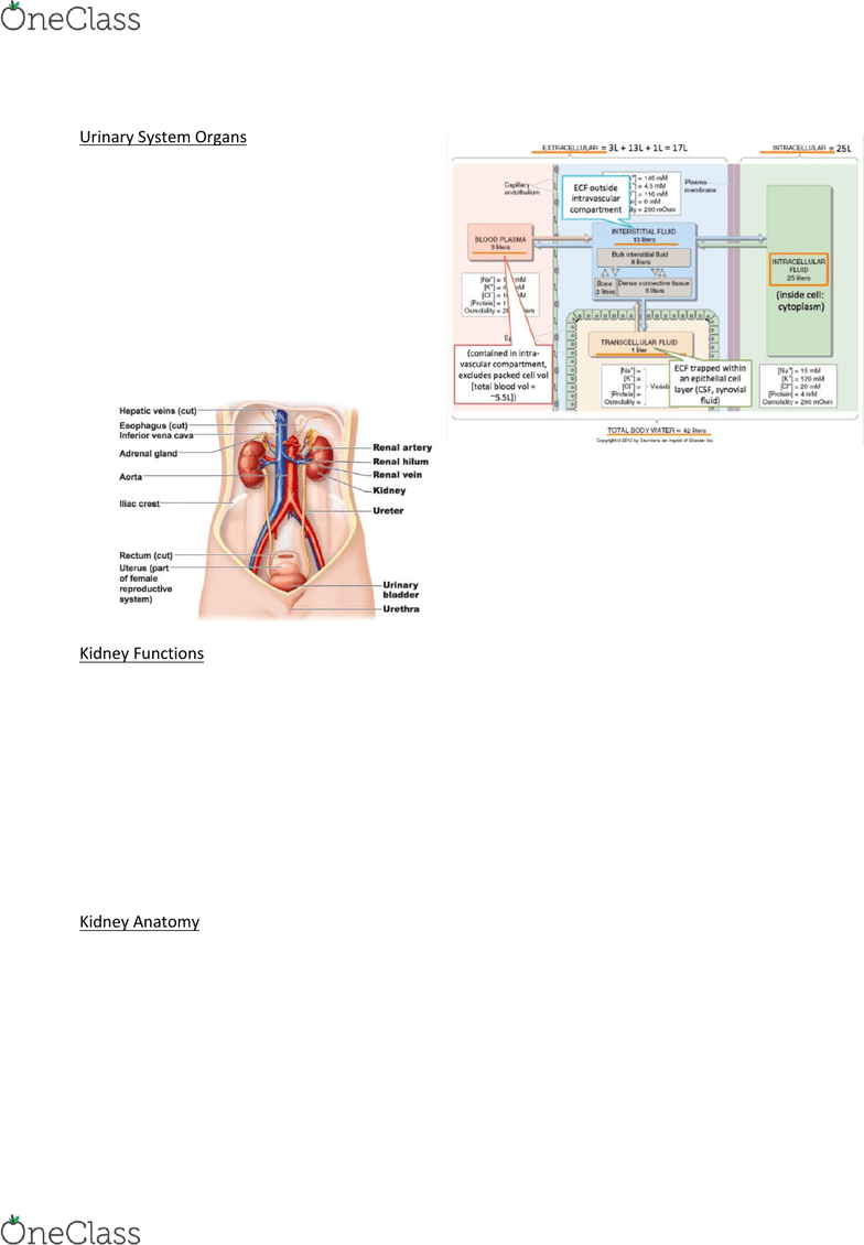 medium resolution of medi112 lecture notes lecture 9 distal convoluted tubule proximal tubule renal blood flow