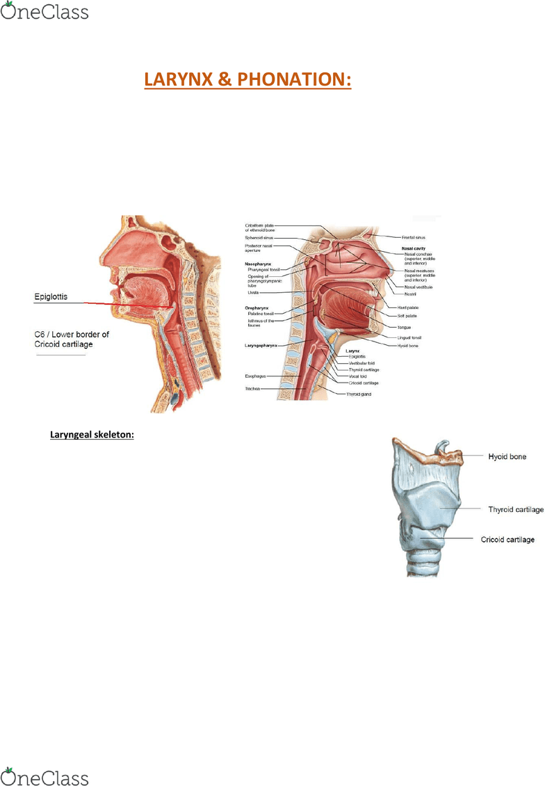 hight resolution of anat30008 lecture notes lecture 31 hyoid bone lateral cricoarytenoid muscle vocal process