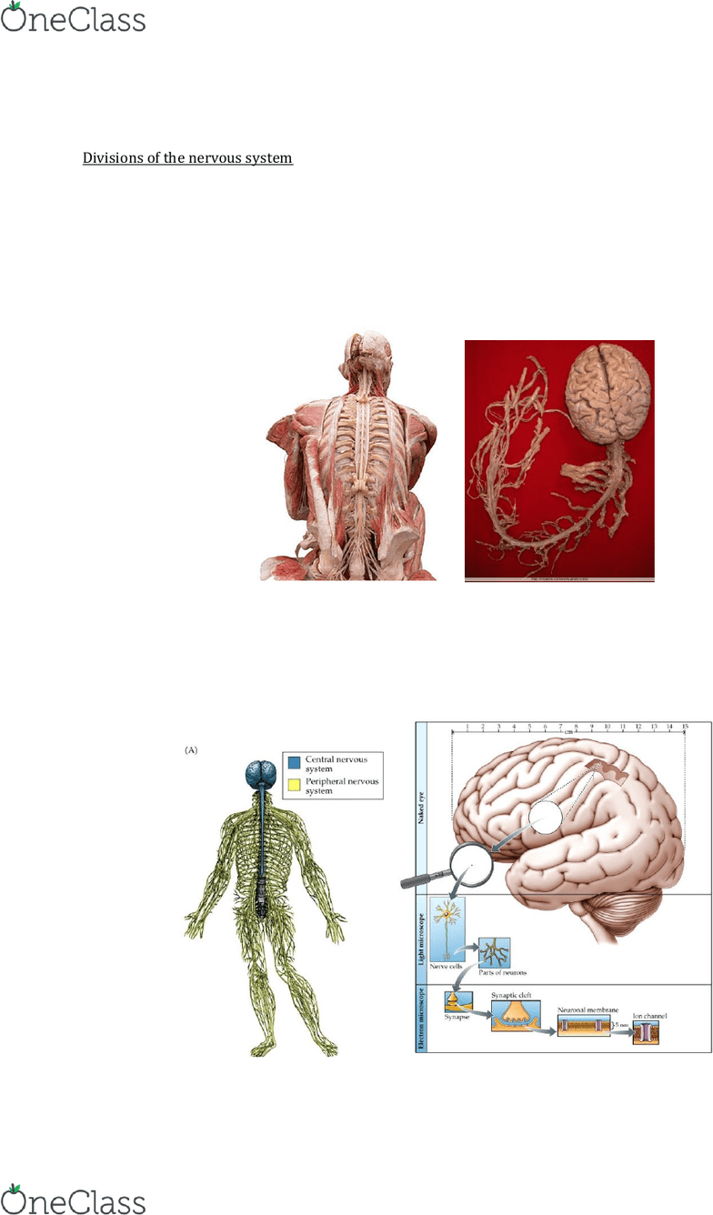 medium resolution of lecture 2 brain anatomy