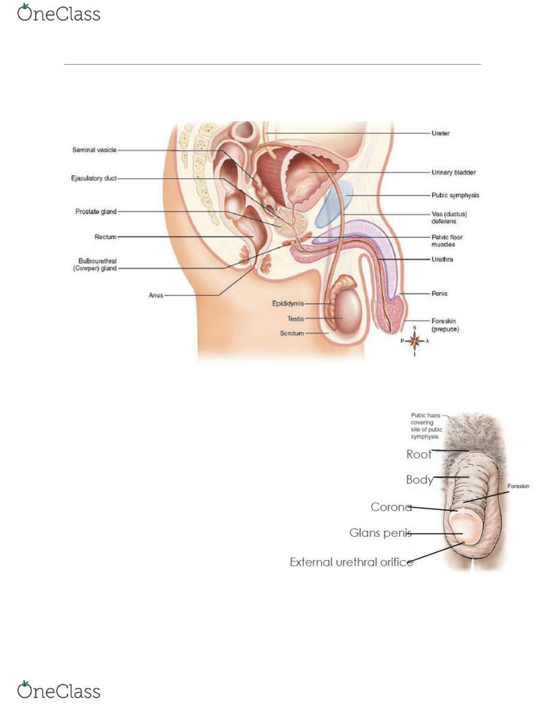 medium resolution of the male reproductive system