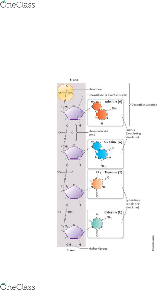 small resolution of chapter 11 dna structure and replication