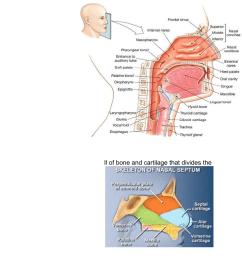 biom2020 respiratory system [ 784 x 1537 Pixel ]