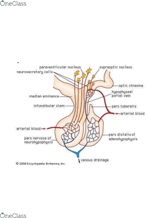 small resolution of pituitary gland
