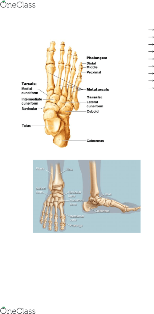 small resolution of humb1002 lecture notes lecture 4 calcaneofibular ligament anterior talofibular ligament tibial nerve