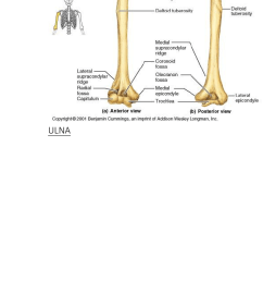 humb1004 study guide final guide ulnar notch of the radius distal radioulnar articulation ulnar collateral ligament of elbow joint [ 581 x 1661 Pixel ]