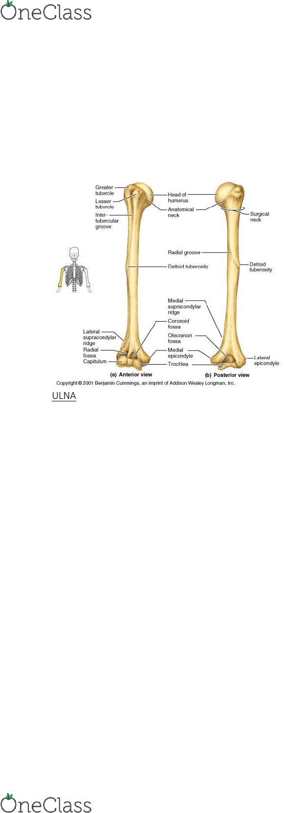 medium resolution of humb1004 study guide final guide ulnar notch of the radius distal radioulnar articulation ulnar collateral ligament of elbow joint