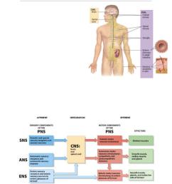 the nervous system  [ 784 x 1015 Pixel ]
