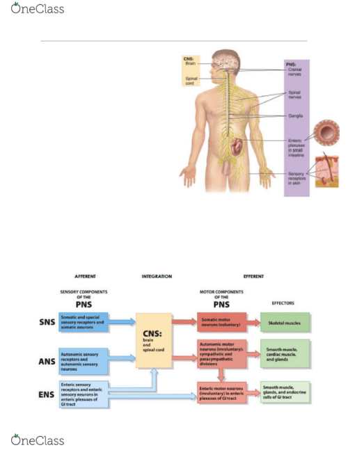 small resolution of the nervous system