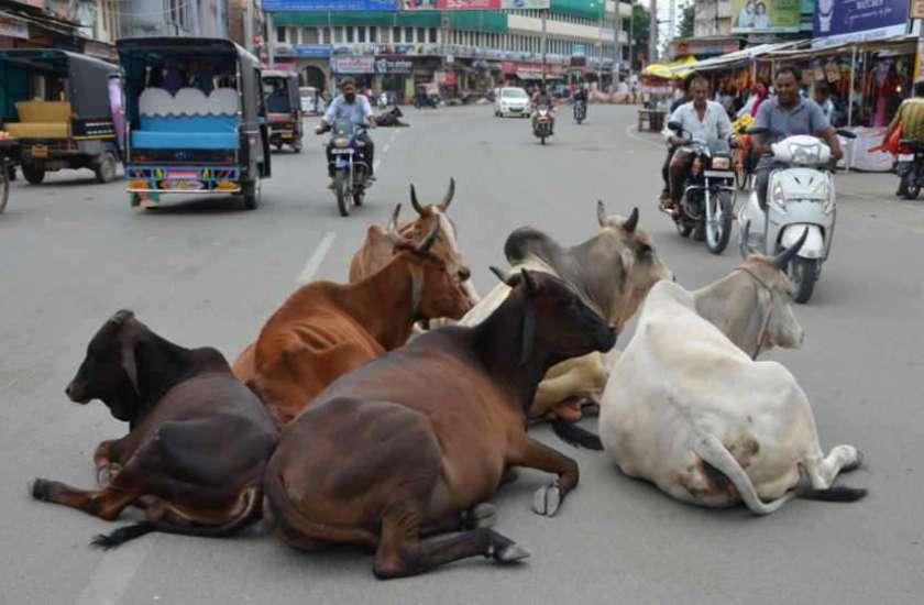 Raj Government Action Plan Ready To Solution Problem Of Stray Cattle -  राजस्थान सरकार का बड़ा फैसला: अब शहर में नहीं घुस पाएंगे आवारा मवेशी, एक्शन  प्लान तैयार   Patrika News