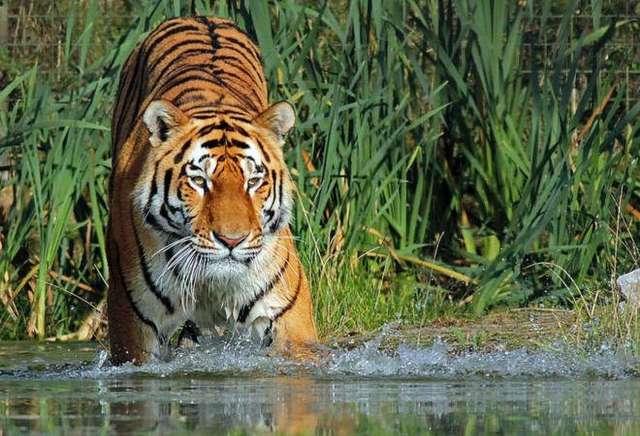 tiger omkareshwar 5635340 m