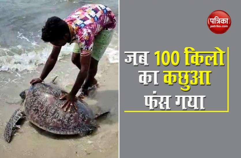 100 kg tortoise got stranded, then returned in the lap of sea