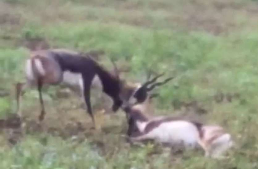 amazing- the scene of fierce war between two deer will be stunned