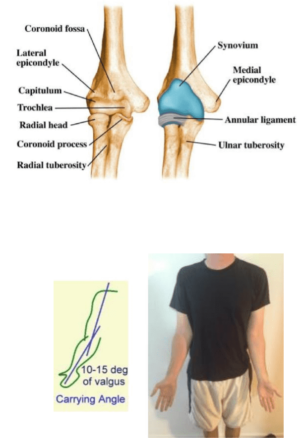 PHTY207 Lecture Notes - Spring 2018, Lecture 13 - Ulnar ...
