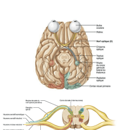 anp 1505 lecture notes fall 2015 lecture 5 embryo couleur diminution [ 667 x 1561 Pixel ]